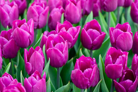 Close up Beautiful field of purple or Magenta tulips close up. Spring background with tender tulips. Purple floral background