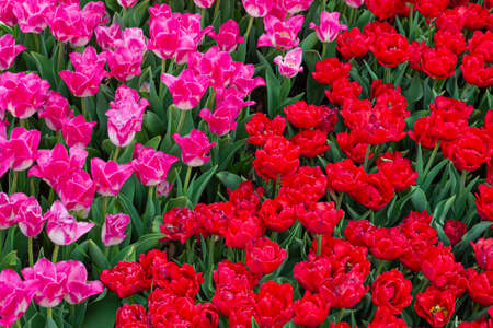 Beautiful field of pink and red tulips close up. Spring background with tender tulips. Floral background Standard-Bild