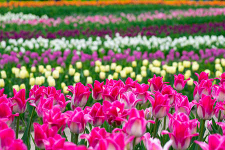 View on Beautiful field of pink, yellow, purple and white tulips close up. Spring background with tender tulips. Floral background