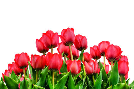 Beautiful field of red tulips close up isolated on white. Spring background with tender tulips