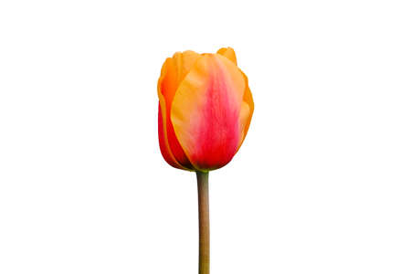 Red and orange tulip flower isolated on white background. Tulip flower head isolated on white. Spring flowers