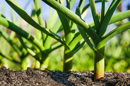 Young garlic grows in the garden. Close up view of young strong garden plants or seedlings and the ground. Organic Gardening concept.