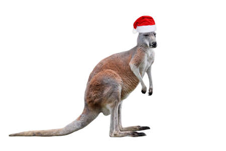 Male kangaroo in Christmas hat isolated on white background. Big kangaroo full lengths, front view. Zoo banner with copy space