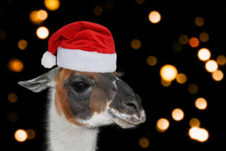 Portrait of a llama or alpaca in a Christmas hat on black background with blurred lights. Christmas or New year banner.