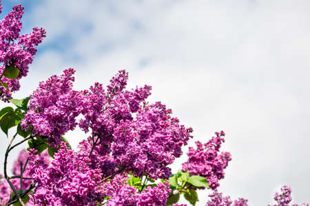 Purple Lilac and blue sky spring banner with copy space. Beautiful Terry blooming lilac on a summer day.