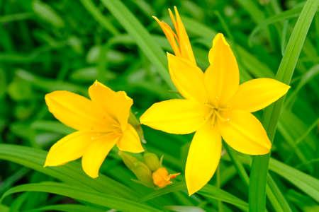 Hemerocallis lilioasphodelus. Flowering perennial herb the species of the genus, family Silanikove Daylilies Hemerocallidaceae. Yellow lili close up.