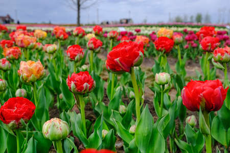 Beautiful field of red tulips close up. Spring background with tender tulips. Red and orange tulips floral background. Standard-Bild