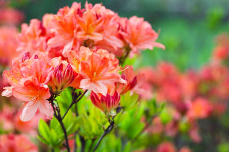 Coral rhododendron flowers background. Blossoming bush of Rhododendron