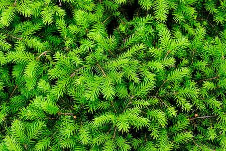 Green Spruce background or texture close up. Standard-Bild