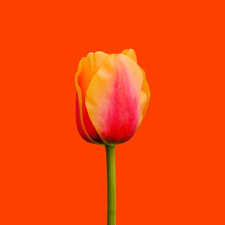 Red and orange tulip flower isolated on orange background. Tulip flower head isolated on orange. Spring flowers Standard-Bild