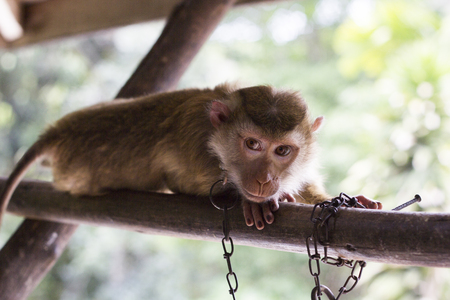 Monkey in Chain looking at the camera
