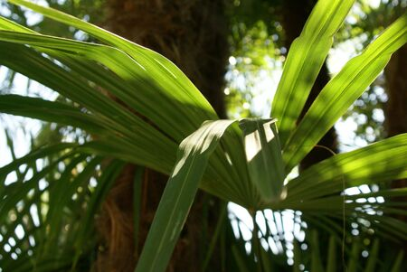 leaf of the palm