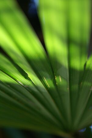 leaf of the palm at the sun Banque d'images