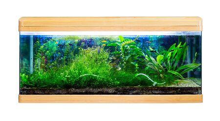 cichlids: Panoramic large aquarium on a white background