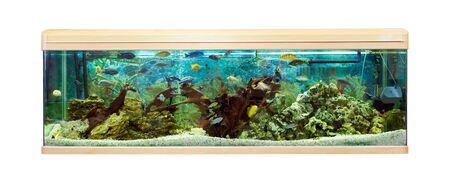 cichlids: Panoramic aquarium with Malawi cichlids