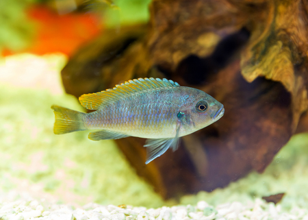 genus: Malawi cichlids. Fish of the genus Cynotilapia