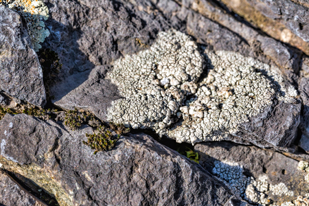 Lichens are symbiotic fungi and algae. Texture of lichen on the stone