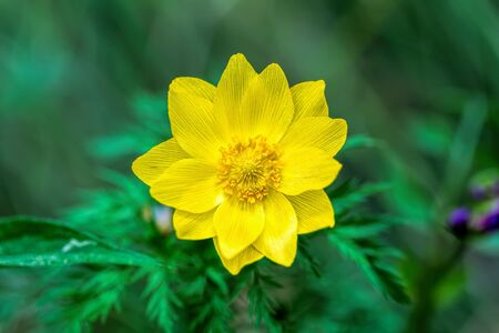 Flower Adonis sibirica in a meadow Stock Photo