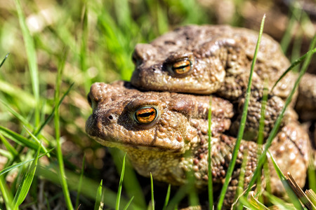 European grass frog copulation close-up