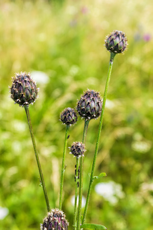 Buds meadow knapweed