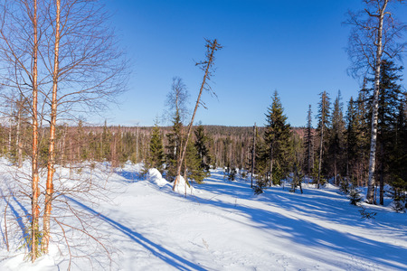 Spruce forest in winter. Winter landscape Stock Photo