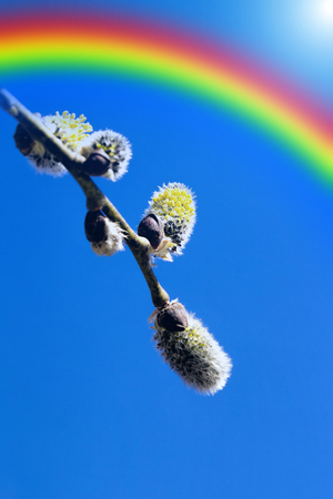 Rainbow and blooming willow against the sky