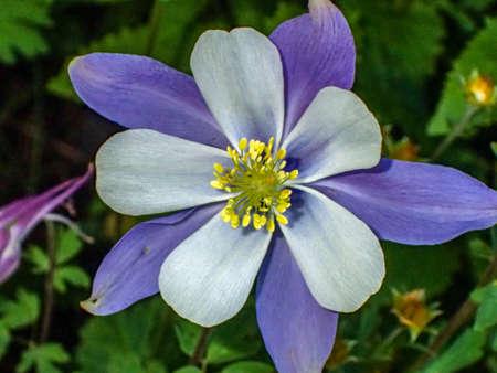 Blue Columbine Wildflower Stock Photo