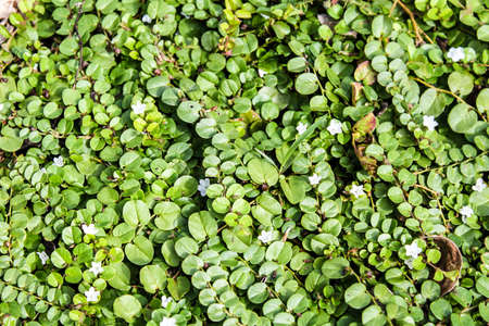 creeping plant: Greeen creeping plant and little white flowers
