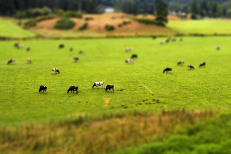 Tilt Shift Cows Stock Photo