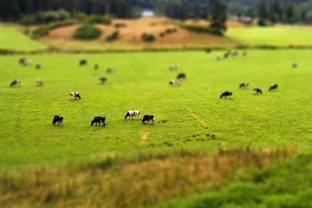tilt: Tilt Shift Cows Stock Photo