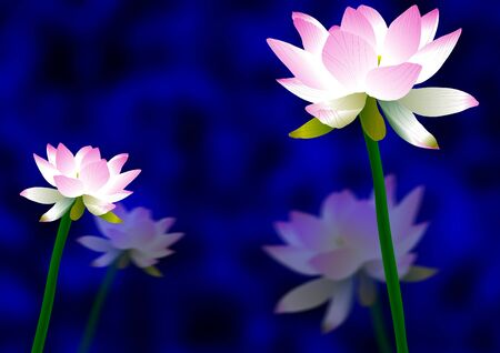 pink and white lotus flowers with a blue and black background