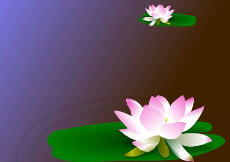 pink and white lotus flowers with a blue background photo