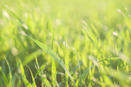 Green young wheat close up Banque d'images