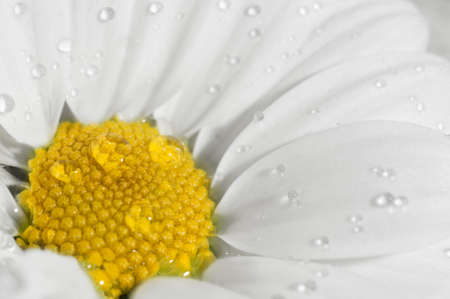 Chamomile macro with drops of dew Archivio Fotografico