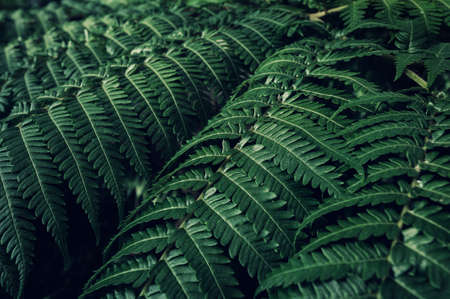 Fern backround. Green fern leaves in the forest