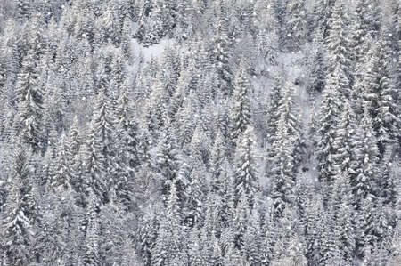 Winter forest with fir trees covered with snow