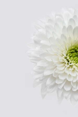 Primo piano del crisantemo bianco Archivio Fotografico