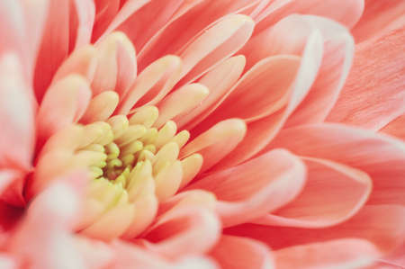 Trendy coral colored chrysanthemum close up.