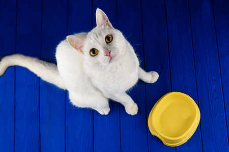 Cute, cat, white on a colored blue background. Hungry cat near empty bowl asks feed it.