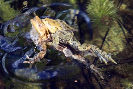 bassin jardin: l'accouplement des crapauds dans le bassin de jardin Banque d'images