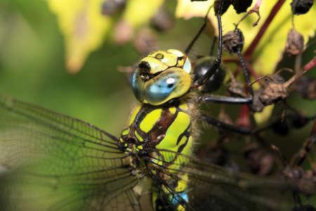 umbel: Great Emperor Dragonfly on a elder umbel Stock Photo