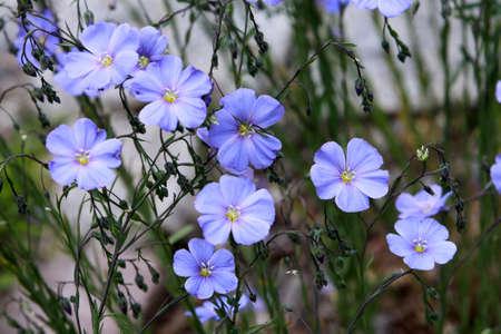 usitatissimum: Flax seed, flax, Linum usitatissimum, Saxony, Germany, thermal Wiesenbad