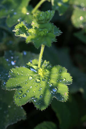 lady s: Gotas de agua sobre las hojas de dama manto de s Foto de archivo