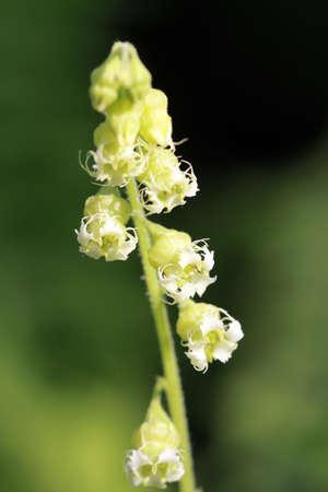 false mandrake root - Tellima grandiflora