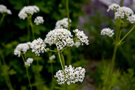 real valerian herb garden in the spa gardens, thermal Wiesenbad, Saxony, Germany