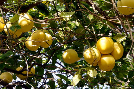 citrus maxima: Pomelo Citrus grandis, Citrus maxima, Citrus paradisi, paradise fruit on the tree, Canary Islands, Tenerife, Puerto de la Cruz Stock Photo
