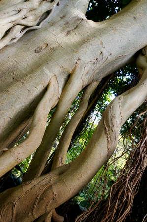 feigenbaum: Feigenbaum mit Luftwurzeln Ficus baileyana, Puerto de la Cruz, Teneriffa, Kanarische Inseln Lizenzfreie Bilder
