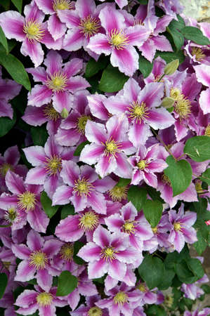 クレマチスの花 写真素材