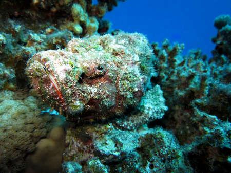 scorpionfish: Humpback scorpionfish, Safaga Egypt,