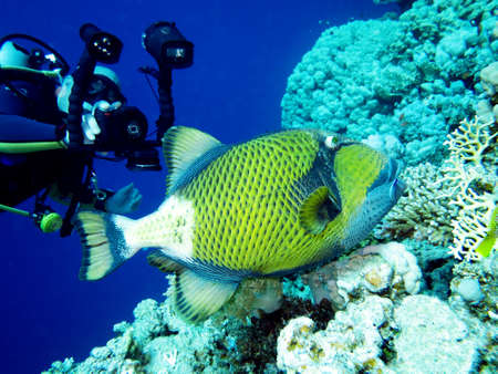 巨大な Drckerfisch、サファガ エジプト 写真素材
